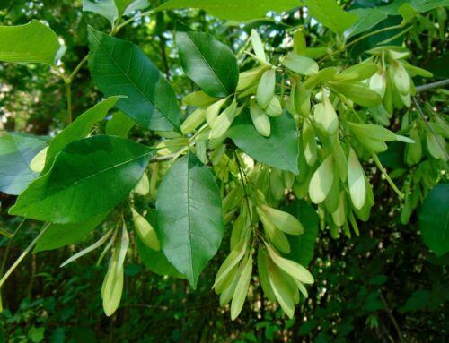 Carolina Ash   Fraxinus caroliniana   Organic   10 Seeds Free US Shipping
