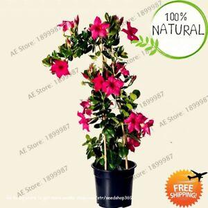 Perennial-Mandevilla-Sanderi-Seeds-Plants-Flower-Rare-100pcs-bag