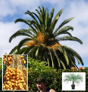 gelee palme butia capitata geh lze gem se f r den garten mediterran frosthart ebay. Black Bedroom Furniture Sets. Home Design Ideas
