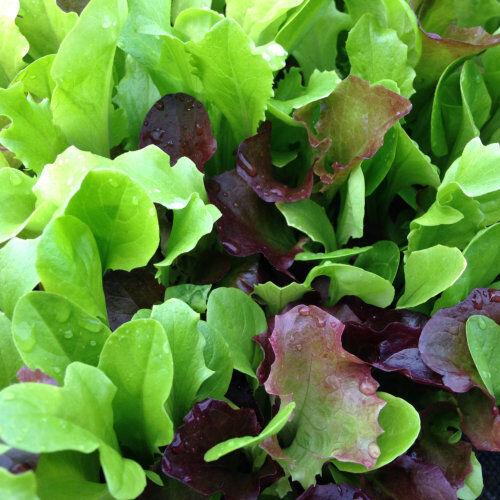 Lettuce 250 seeds Mixed Salad Leaves