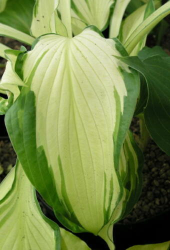 Hostas in variety starting with B good garden worthy plants