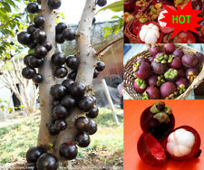30pcs New Fruit  Mangosteen Seeds Organic heirloom fruit seeds Nutrient-Rich