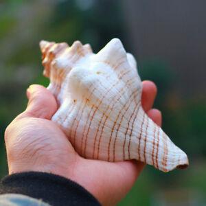 9-20cm-Naturel-Trompette-Coquillage-Gros-Conque-Escargot-de-Mer-Collection-Decor