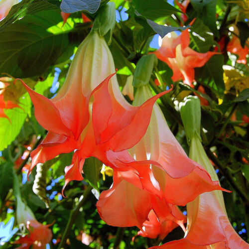 20x Red Brugmansia Datura Seeds Angels Trumpets Huge Blooms Flower Garden  H8X9
