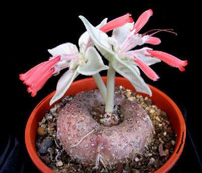 Sinningia leucotricha @ rare caudex plant seed 10 SEEDS