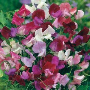 Rothschild Ampoules ® - 20 x Sweet Pea Seeds-de nombreuses variétés!