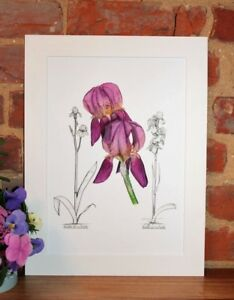 Botanical-Giclee-Vintage-Print-Iris-Imperator-by-RHS-artist-Alfred-Wise