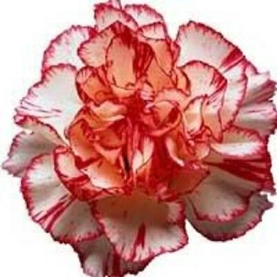 50 Avranchin RED & WHITE CARNATION Dianthus Caryophyllus Chabaud Flower Seeds