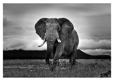 Black And White Animal Nature Art Large Poster /& Canvas Picture Wild Elephant