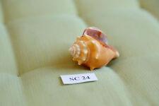 Concha fechterschnecke Fighting conch sc24 Sanibel & Captiva florida 6 cm de largo
