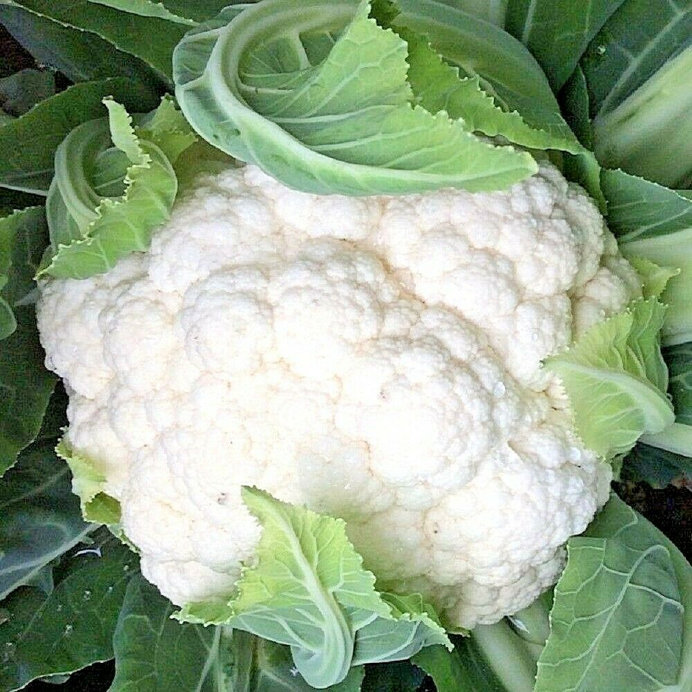 Vegetable Cauliflower All the Year Round Appx 1000 Seeds