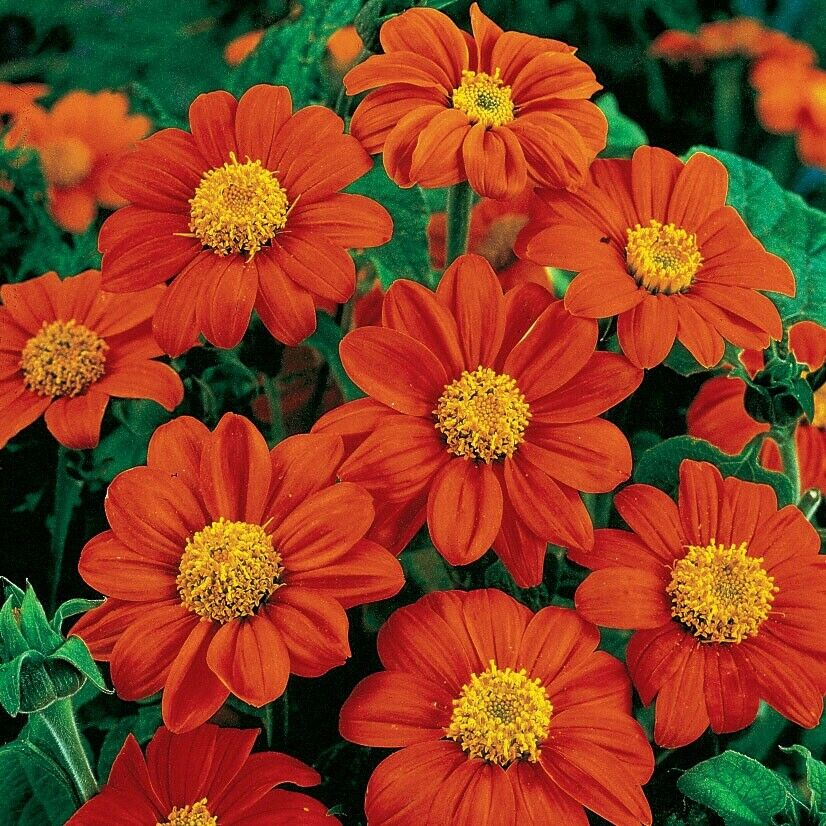 SUNFLOWER- MEXICAN RED Tithonia Diversifolia 45+ seeds :) Free Postage In Aus x