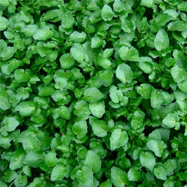 WATERCRESS 250 seeds Culinary herb garden Aquatic  pond  water cress sprouts