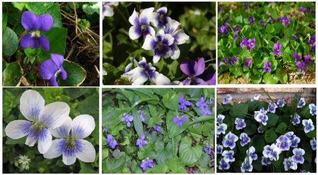 Violet wild flower two kinds mixed purple white blue center over violet wild flower two kinds mixed purple white blue center over 100 seeds mightylinksfo