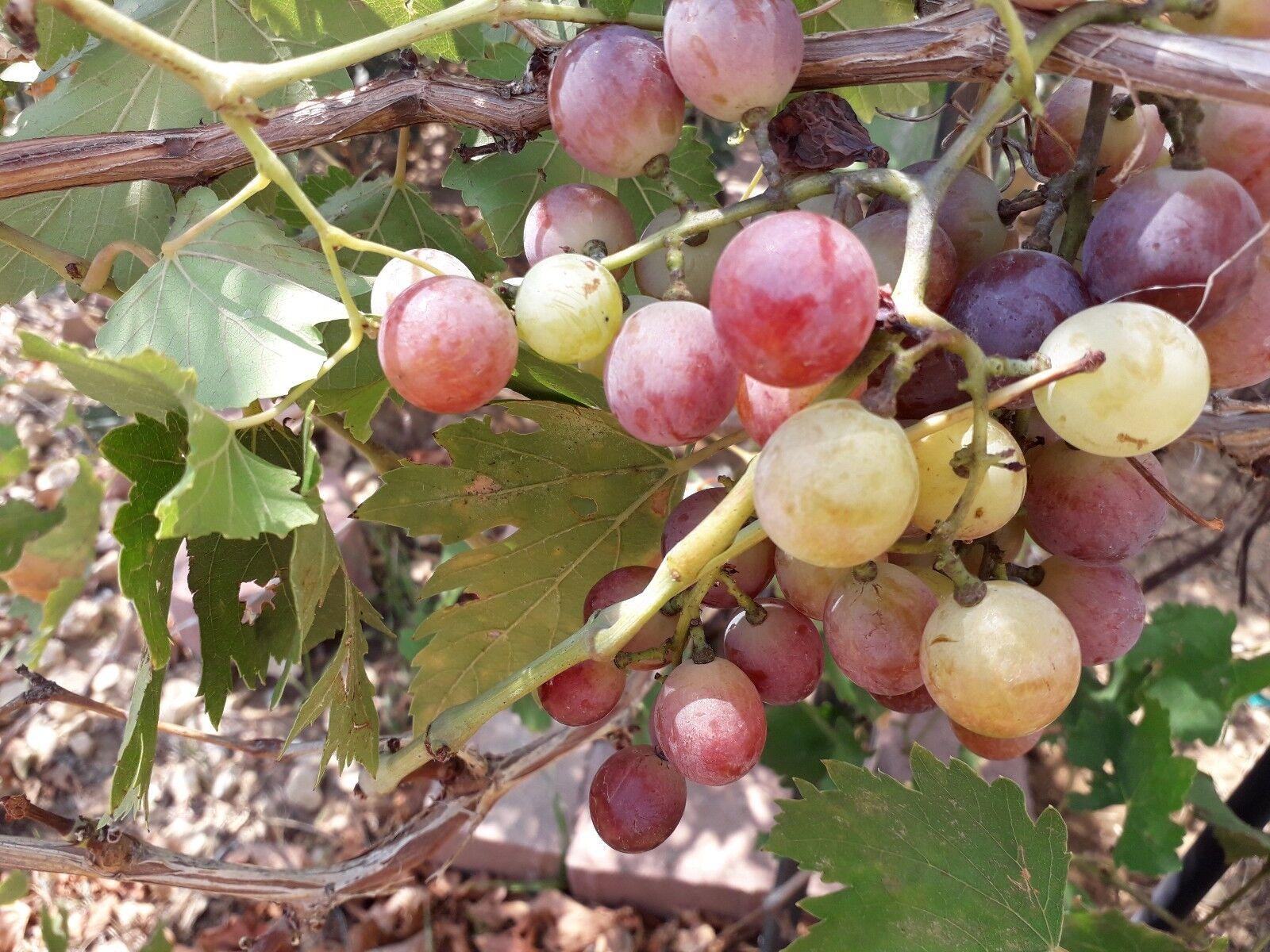 Giant Red Grape Seeds.vine .Greek variety.100% Organic.8 seeds+2 free. Rare