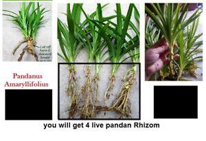 4-Live-Pandan-Fragrant-CUTS-herb-Pandanus-Amaryllifolius-Plant-with-Rhizome
