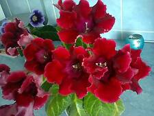 Lovely Gloxinia Etoille de Feu Bulbs Pretty Perennials! In stock!