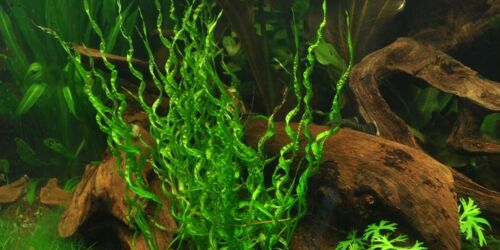 six Live Aquatic Plant Vesuvius Pots of Echinodorus sp 6