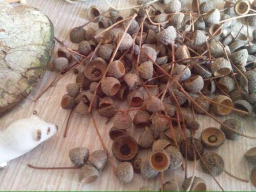 50 x Acorn caps de Chêne Anglais arbres récoltés de Exmoor-Free p/&p