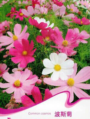 Pink Cosmos Flower Plant Seed  Spring Flower Beautiful Garden Plant Seed 100 Pcs