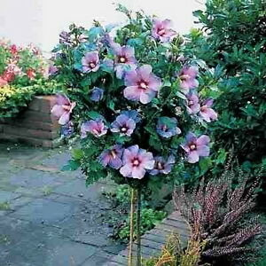 Rose Of Sharon Tree Hibiscus Syriacus 1 To 2 Feet Tall Live Tree Ebay
