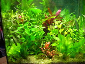 lot de 60  brins  de plantes  aquarium  + 1 lot gratuit