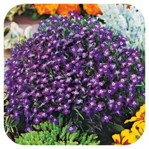 Lobelia /'Mrs Clibran/' Upright Mini Plug Plants x 24 For Potting On