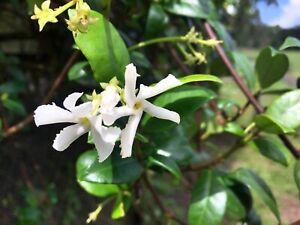 15  Confederate Star Jasmine Vine  Cuttings Trachelospermum Jasminoide Fragrant