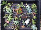 25 mix succulent cuttings