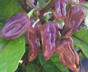 PURPLE-Bhut-Jolokia-Ghost-Chilli-10-RARE-Seeds-One-of-the-hottest-in-the-world