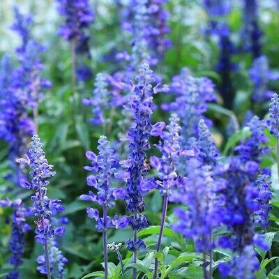 Seeds FLOWER GARDEN cottage EASY FAST grow BORDER HEDGE SALVIA BLUE BEDDER 60