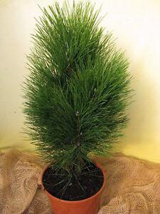 Saeulenkiefer-Pinus-nigra-Fastigiata-Green-Tower-40-50cm-Nadelgehoelz