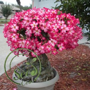 2pcs Rare Adenium Light Fragrance Desert Rose Potted Flower Seeds Bonsai Garden