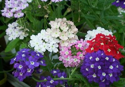 FLOWER VERBENA HYBRIDA IDEAL FLORIST MIX 200 FINEST SEEDS