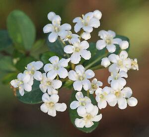 Walter-039-s-Viburnum-Viburnum-obovatum-Bonsai-Tree-10-Seeds-Free-Shipping