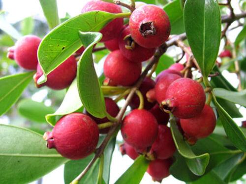 Red cherry guava//Strawberry  guava// Cattley Guava// Psidium cattleianum 5 Seeds