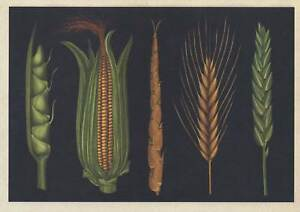 CORN-MAIZE-WHEAT-BARLEY-GRAINS-POSTCARD-BOTANICUM-Kew-Royal-Botanic-Gardens