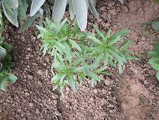 ca. 50 Samen Sommer-Bohnenkraut  einjährig    Gartenbohnenkraut