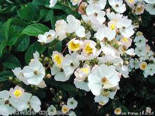 """Wildrose Rosa multiflora 200 exotische Samen """"ALLES NUR 1 EURO"""""""