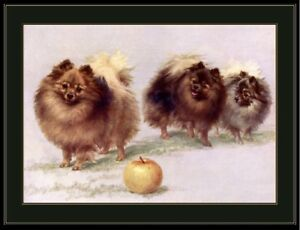 English Print White Pomeranian Puppy Dog Dogs puppies Vintage Art Picture Poster