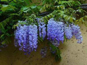 Details About Blue Moon Wisteria Vine Live Plant Trade Gallon Pot