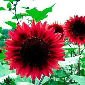 40PCS-graines-de-tournesol-rouge-red-grand-jardin-fortune-semences-florales