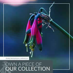 Phaedranassa carmiolii - Queen Amaryllis - RARE Blooming Costa Rican Bulb