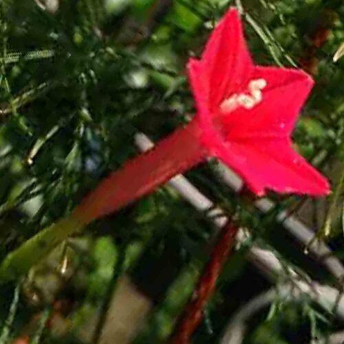 CARDINAL CLIMBER 75 SEEDS HUMMINGBIRDS BEES VINE FREE SHIPPING DEER TRELLIS USA