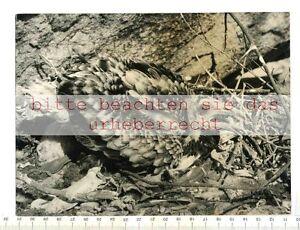 ORIGINAL-PRESSEFOTO-PHARAOH-S-CHICKEN-YOUNG-BIRD-ON-THE-NEST-Foto-P-STEFFEN