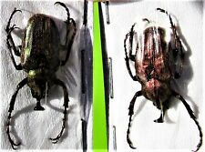 Lot of 10 Flower Beetle Torynorrhina flammea flammea Red 30-35mm FAST FROM USA