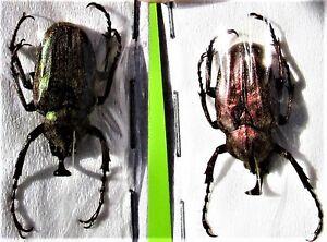 One East Javan Flower Beetle Mycteristes rhinophyllus Male FAST FROM USA