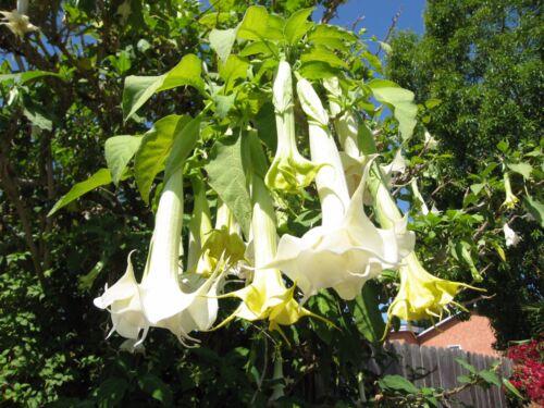 Brugmansia suaveolens white angels Trompette graines!