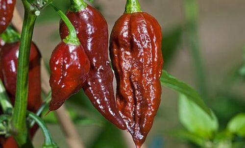 C 056 25 Fresh 2018 Harvested Premium Chocolate Bhut Jolokia Pepper Seeds