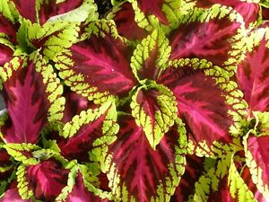 15-Pelleted-Seeds-Coleus-Kong-Rose-Giant-Coleus-Seeds